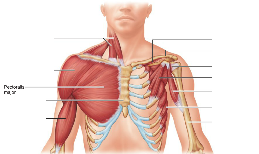 Pectoralis major - Pectoral Muscles